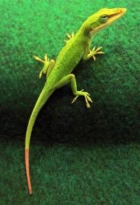 lizard_tail